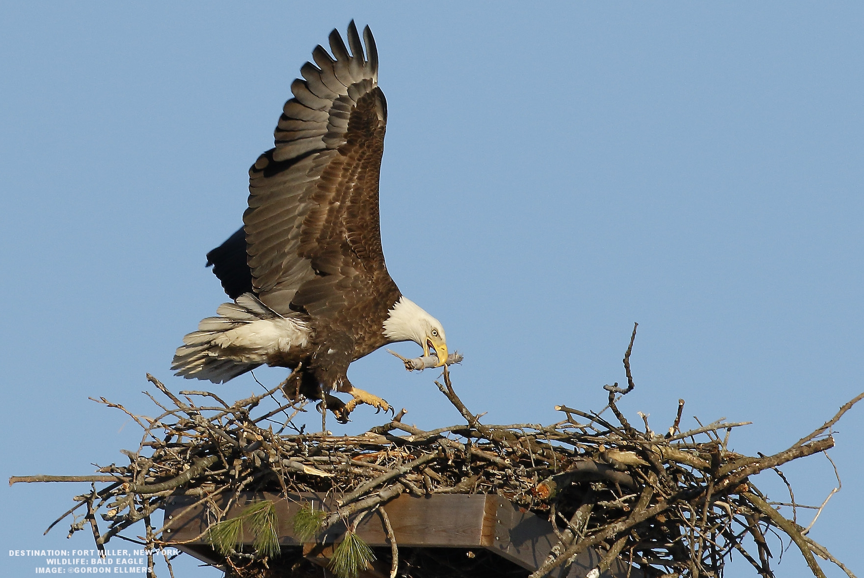 A BALD EAGLE'S NEST CAN WEIGH HUNDREDS OF POUNDS. PLATFORMS PLACED IN THEIR HABITAT REGIONS, LIKE THIS ONE IN FORT MILLER, NEW YORK PROTECT AND ENCOURAGE THE BIRDS. OSPREYS ALSO LIKE THESE PLATFORMS, THE COMPETITION MAKES FOR FABULOUS ARIEL DISPLAYS. IMAGE: GORDON ELLMERS.