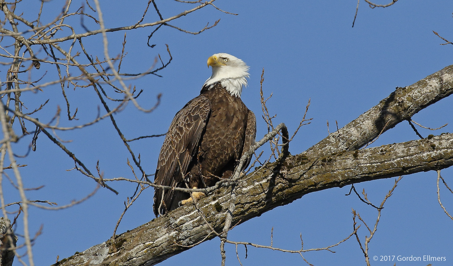 BY 1975, THE COMBINED EFFECTS OF HABITAT DESTRUCTION AND POLLUTANTS SUCH AS DDT, BROUGHT THE BALD EAGLE POPULATION DOWN TO ONE SINGLE BREEDING PAIR IN ALL OF NEW YORK STATE. TODAY, THANKS TO THE EFFORTS OF THE ENVIRONMENTAL PROTECTION AGENCY AND CONSERVATIONISTS, THERE ARE HUNDREDS OF NESTING BALD EAGLE (AND OSPREY) PAIRS IN NEW YORK STATE. IMAGE: GORDON ELLMERS