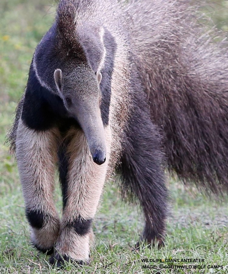 GIANT ANTEATERS LAP UP 35,000 ANTS AND TERMITES PER DAY! IMAGE: THANKS TO ©SOUTHWILD WOLF CAMPS.