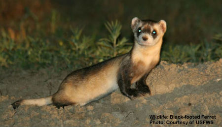RE-INTRODUCED IN 1994, THE ENDANGERED BLACK FOOTED FERRET HAS YET TO ESTABLISH A SELF-SUSTAINING COLONY IN MONTANA, BUT THERE IS STILL HOPE. IMAGE: COURTESY OF  USFWS.