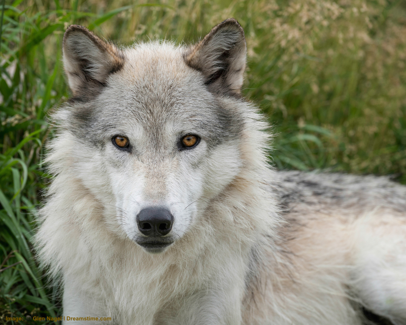 Yellowstone grey wolf: The easiest time to see them may be winter, but with patience, persistence and sunscreen, a summer sighting can be an awe inspiring experience. See below for more!  Image:  ©Glen Nagel⎮dreamstime.com