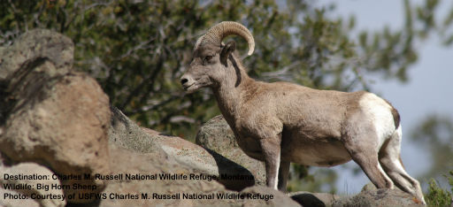 SURE FOOTED WILD BIG HORN SHEEP ARE NATIVE TO NORTH AMERICA. THEIR DISTINCTIVE THICK CURVING HORNS CAN WIEGH UP TO 30 POUNDS (14 KG.) IMAGE FROM  USFWS CHARLES M. RUSSELL  NATIONAL WILDLIFE REFUGE.