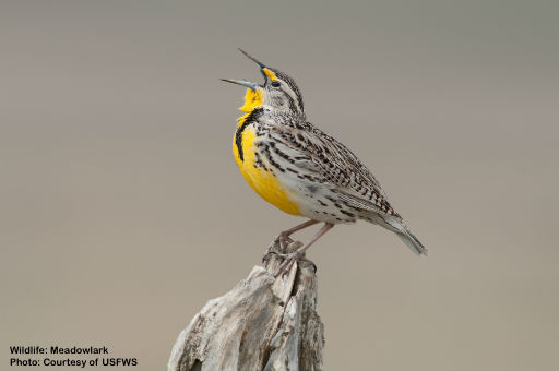 MEADOWLARK, ONE OF 250+ BIRD SPECIES THAT RESIDE OR PASS THROUGH THE REFUGE. IMAGE. COURTESY OF  USFWS