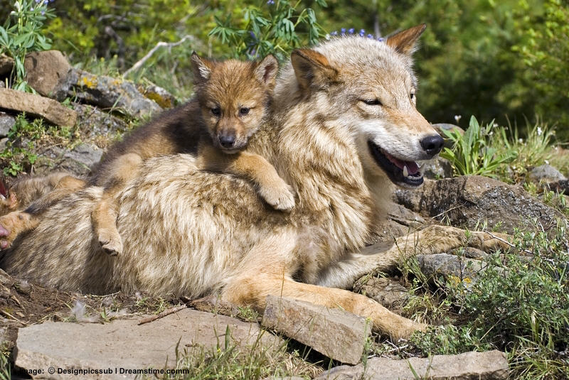 "WOLF FAMILIES ARE UNBELIEVABLY PATIENT WITH WRIGGLING, CLIMBING, WRESTLING, AND ""ATTACKING"" PUPS! THIS FAMILY IS IN MONTANA. PHOTO:  ©Designpicssub⎮DREAMSTIME.COM"