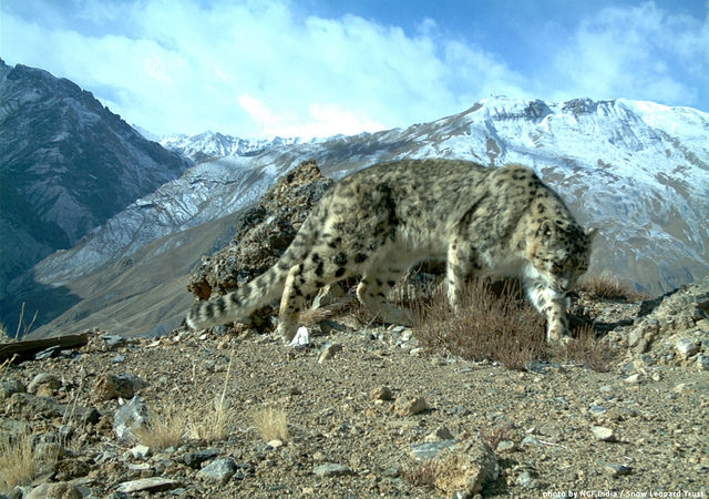 Snow leopard in Indian Himalayas. Image thanks to Snow leopard trust whose work with villagers enhances the lives of the communities while protecting the big cats, wolves and the habitat. image:  Snow Leopard Trust