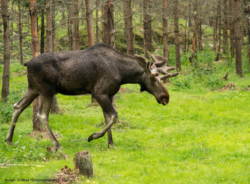 WOLF HEAVEN! SWEDEN HAS HUNDREDS OF THOUSANDS OF MOOSE, CALLED ELK THERE BUT NOT TO BE MISTAKEN WITH NORTH AMERICAN ELK WHICH ARE A DIFFERENT SPECIES. CONFUSED? COME TO SWEDEN - LET YOUR WILDLIFE SAFARI GUIDE EXPLAIN IT ALL. Image:  ©Nilsz⎮Dreamstime.com
