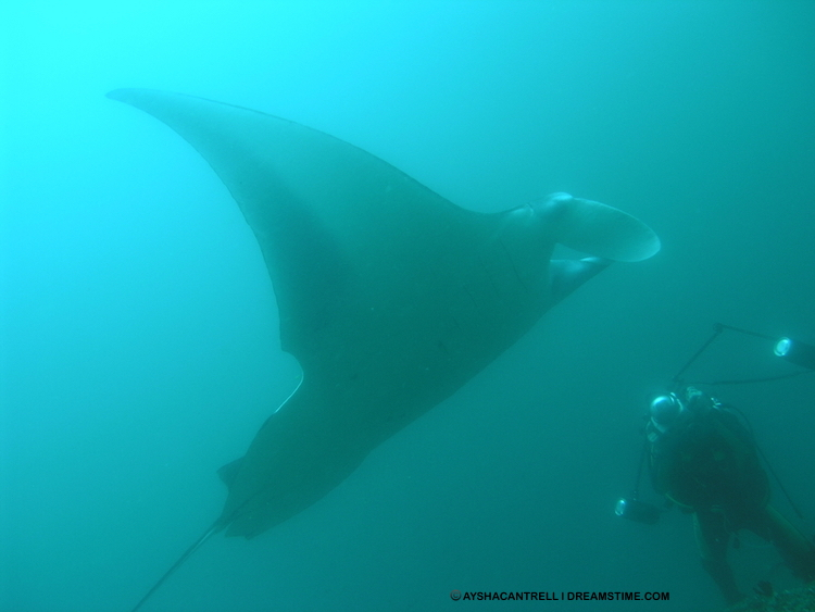 The Marine Megafauna Foundation, at Tofo Beach, Mozambique, studies manta, devil & cow nosed rays as well as whale sharks Image:  ©AyshaCantrell⎮Dreamstime.com