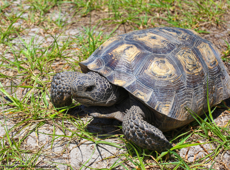 The endangered gopher tortoise is one of the many species found, along with alligators and the breeding pair of red wolves, at St. Vincent national Refuge. Image:  ©Geoarts⎮dreamstime.com