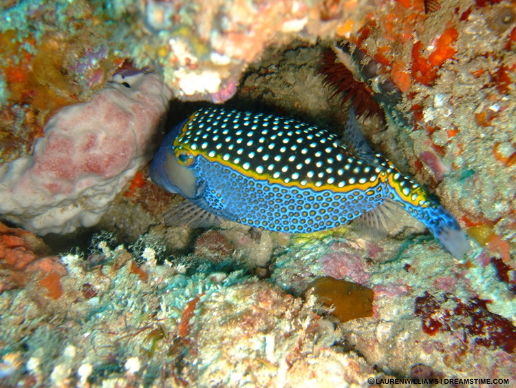 Mozambique's reefs attract a plethora of gorgeous small fish, like this white spotted box fish, as well as sharks and rays. Image:  ©LAurenWilliams⎮Dreamstime.com