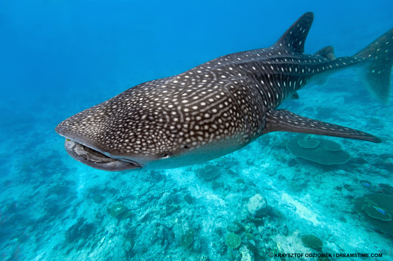 Whale sharks change their favorite sides of the Maldives' atolls seasonally - so should you! First part of the year - Go east! Later half of the year: Go west! Image:  ©kraysztof Odziomek⎮Dreamstime.com