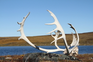 A carribou rack sits on the edge of the water in Nanavut, near Baker Lake. Image:  © Sophia Granchinho | Dreamstime.com