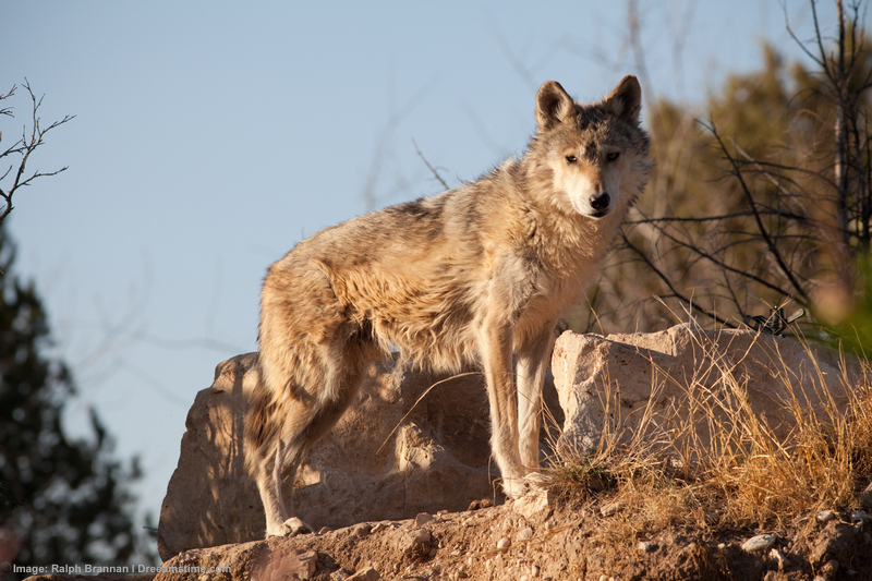 The Mexican grey wolf is another that owes its survival to captive breeding and release programs. These are being reintroduced into Gila National Forest in New Mexico. There are today (2016) 97 wild Mexican Grey wolves. Image:  ©thruthelenspotos ⎮dreamstime.com