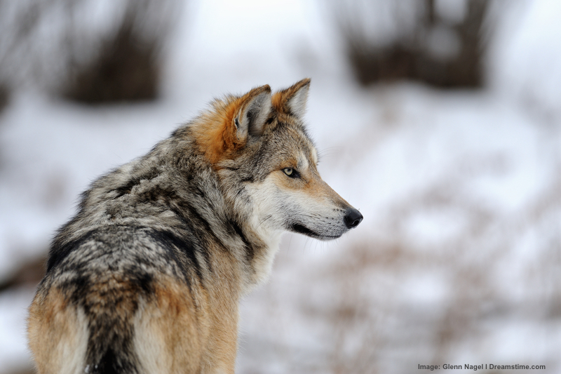 winter in the mountains of new mexico can be cold and snowy but the wolves are mostly safe from main predator: man. Image:  ©Gnagel⎮dreamstime.com
