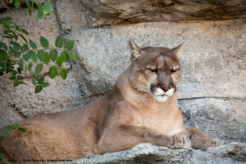 Gila National Forest and Wilderness are home to another apex predator: The mountain lion. Image:  ©Ralph Brannan⎮dreamstime.com