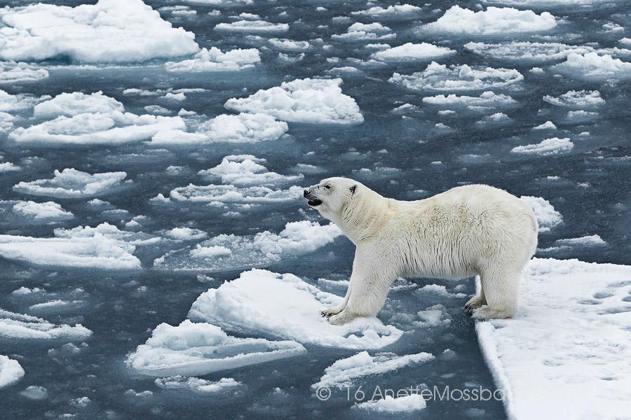 Polar-Bear-Arctic-Ice-Anette-Mossbacher-wildlife-photography.jpeg