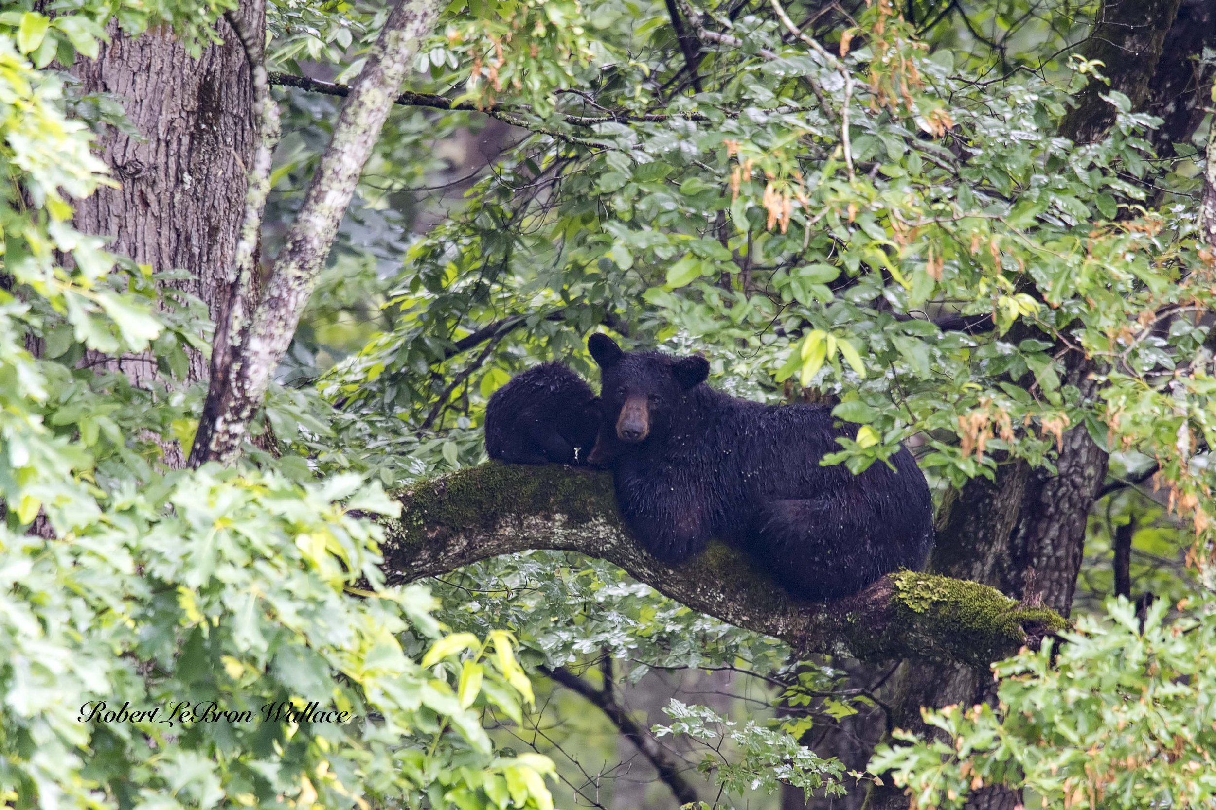 NEITHER BIG MAMA BLACK BEAR NOR HER CUBS WERE BOTHERED BY THE DOWNPOUR (OR THE SOAKING WET PHOTOGRAPHER) IMAGE: ROBERT LEBRON WALLACE