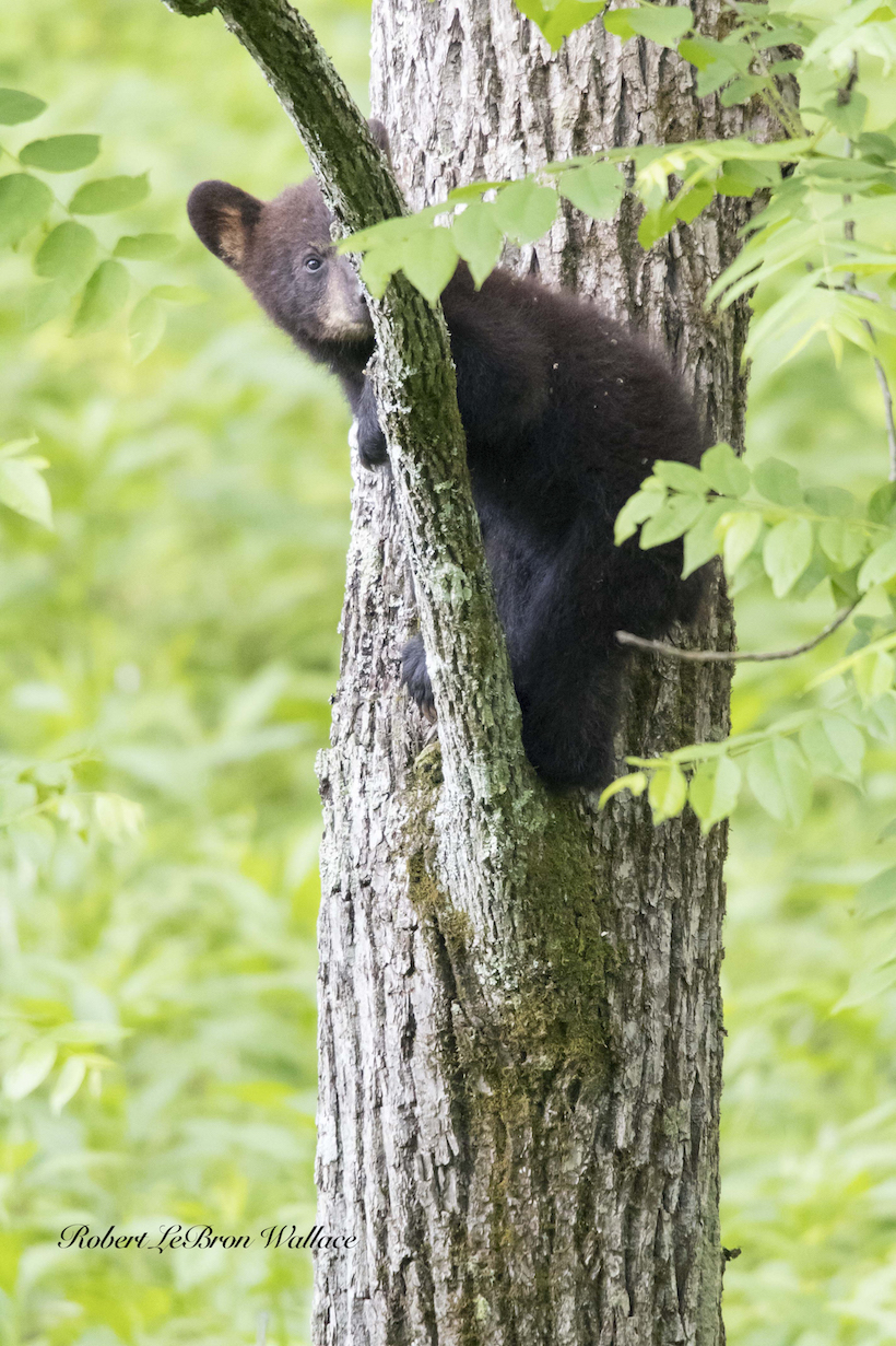 BLACK BEAR CUB AT CADE'S COVE. IMAGE: ROBERT LEBRON WALLACE.