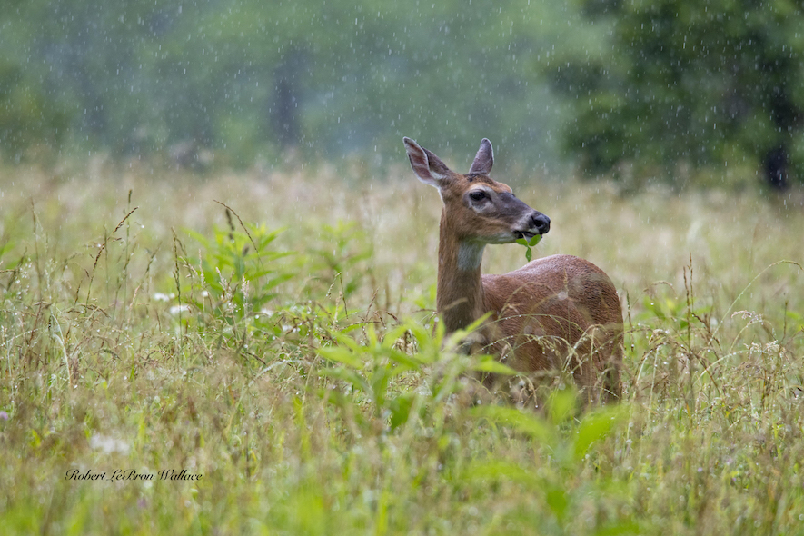 POURING RAIN DID NOT DISCOURAGE THIS WHITE-TAILED DOE AT CADE'S COVE. IMAGE: ROBERT LEBRON WALLACE