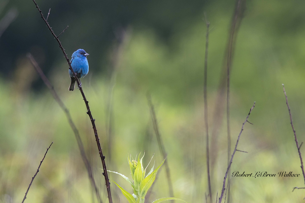 THE FOREST AND FIELDS OF CADE'S COVE ARE HOME TO MANY COLORFUL AND VARIED SPECIES LIKE THIS INDIGO BUNTING. IMAGE: ROBERT LEBRON WALLACE