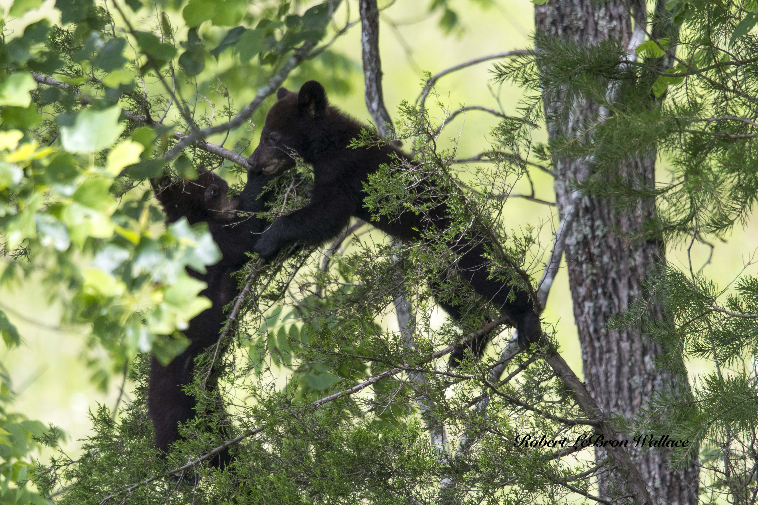 Black-bear-rain-Cade's-Cove-Tennessee-Wildlife-Photography.jpeg