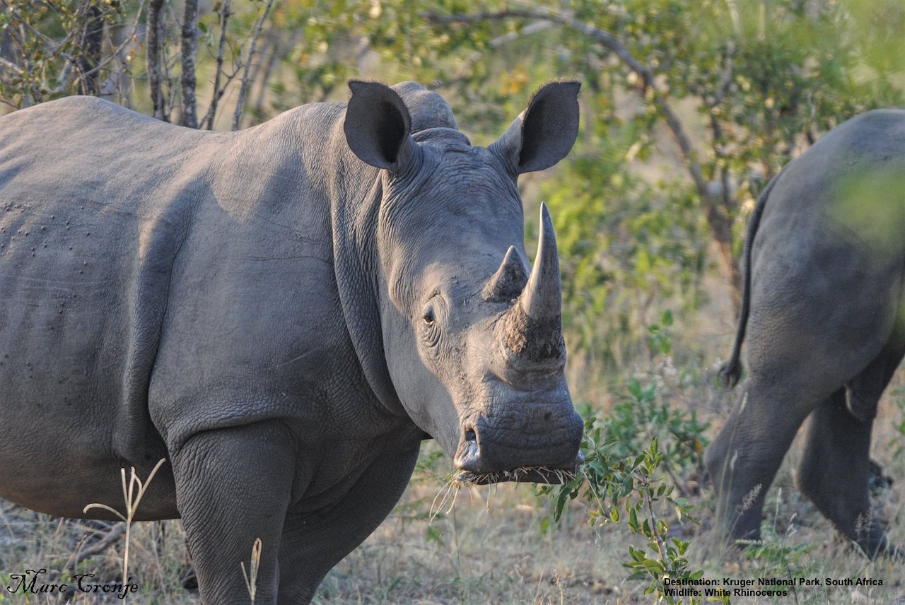 TOURIST DOLLARS GENERATED TO SEE WHITE RHINO IN PRESERVES LIKE SOUTH AFRICA'S KRUGER NATIONAL PARK, HAS BEEN INSTRUMENTAL IN SAVING THIS AND MANY OTHER SPECIES. IMAGE: THANKS TO MARC CRONJE.