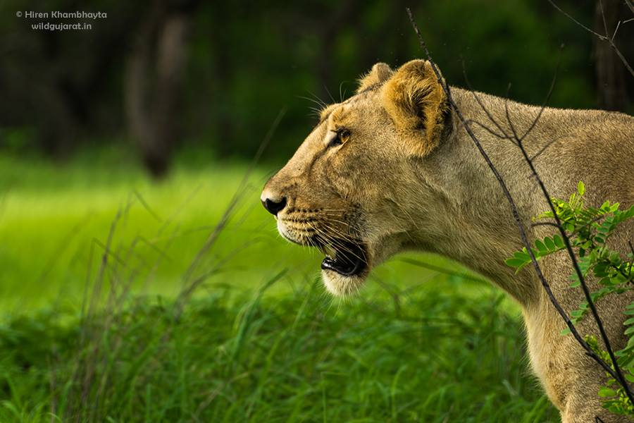 ASIATIC LIONS USED TO ROAM FROM EUROPE THROUGH THE INDIA-SUBCONTINENT. NOW THE FINAL PLACE IN THE WORLD TO SEE WILD ASIATIC LIONS IS GIR NATIONAL PARK IN THE JUNAGADH REGION OF INDIA. HIREn KHAMBHAYTA, HAS A PASSION FOR THESE BEAUTIFUL CATS. IMAGE: HIREn KHAMBHAYTA