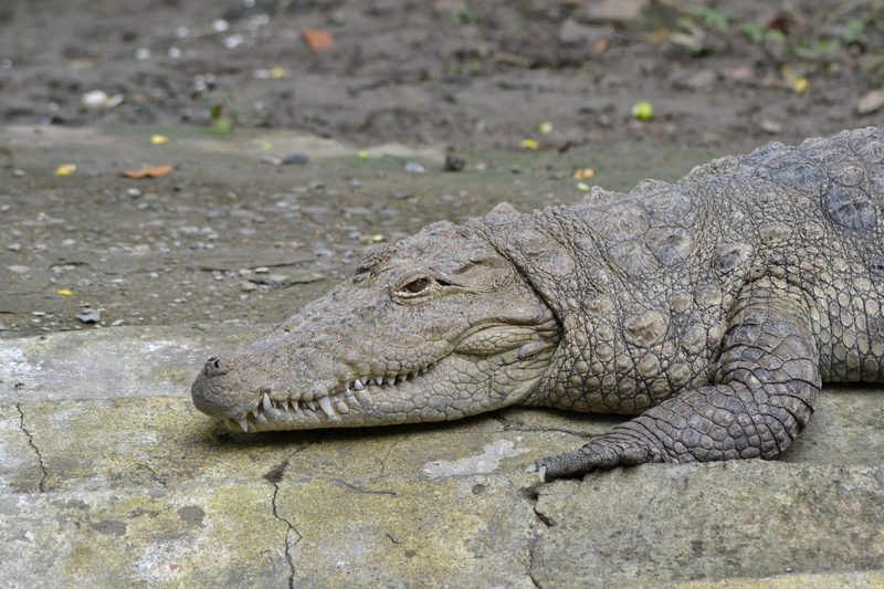 MUGGER CROCODILE, OR CROCODILE OF THE MARSH, ARE FOUND THROUGH OUT THE INDIAN SUB-CONTINENT, BUT IN VERY GREAT QUANTITIES AT KAMLESHWAR DAM. IMAGE:  ©SHARIQKHAN⎮ DREAMSTIME.COM
