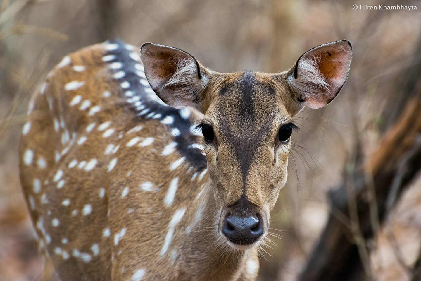 THE LARGE NUMBERS OF NATIVE CHITAL OR CHEETAL ALSO CALLED SPOTTED DEER IN GIR NATIONAL PARK ARE THE PRIMARY PREY OF THE ASIATIC LIONS. IMAGE: HIREN KHAMBHAYTA