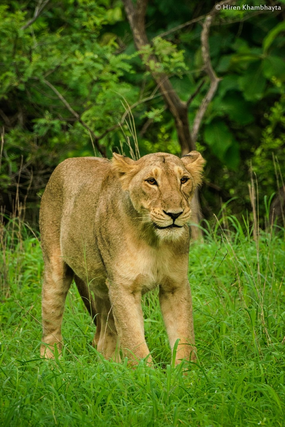 THE LIONS THE WITH VILLAGERS (MAALDHARIS) WHO LIVE TOGETHER IN GIR SEEM TO HAVE A SPECIAL UNDERSTANDING. IMAGE: HIREN KHAMBHAYTA