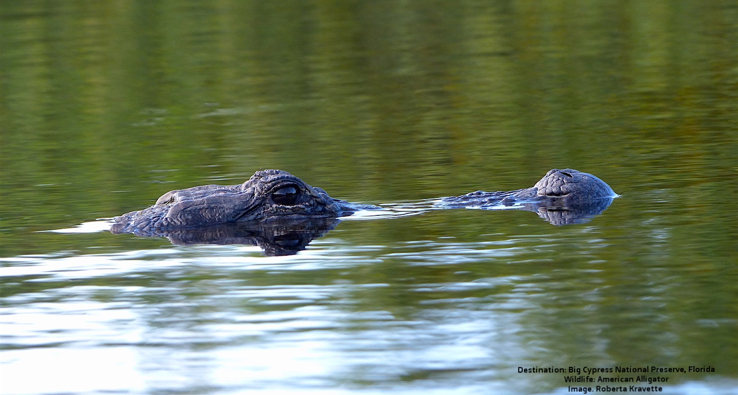 THE AMERICAN ALLIGATOR. STEALTHY, PATIENT, AND FAST - THIS DINOSAUR COUSIN AWAITS YOUR VISIT TO THE EVERGLADES. IMAGE: R. KRAVETTE