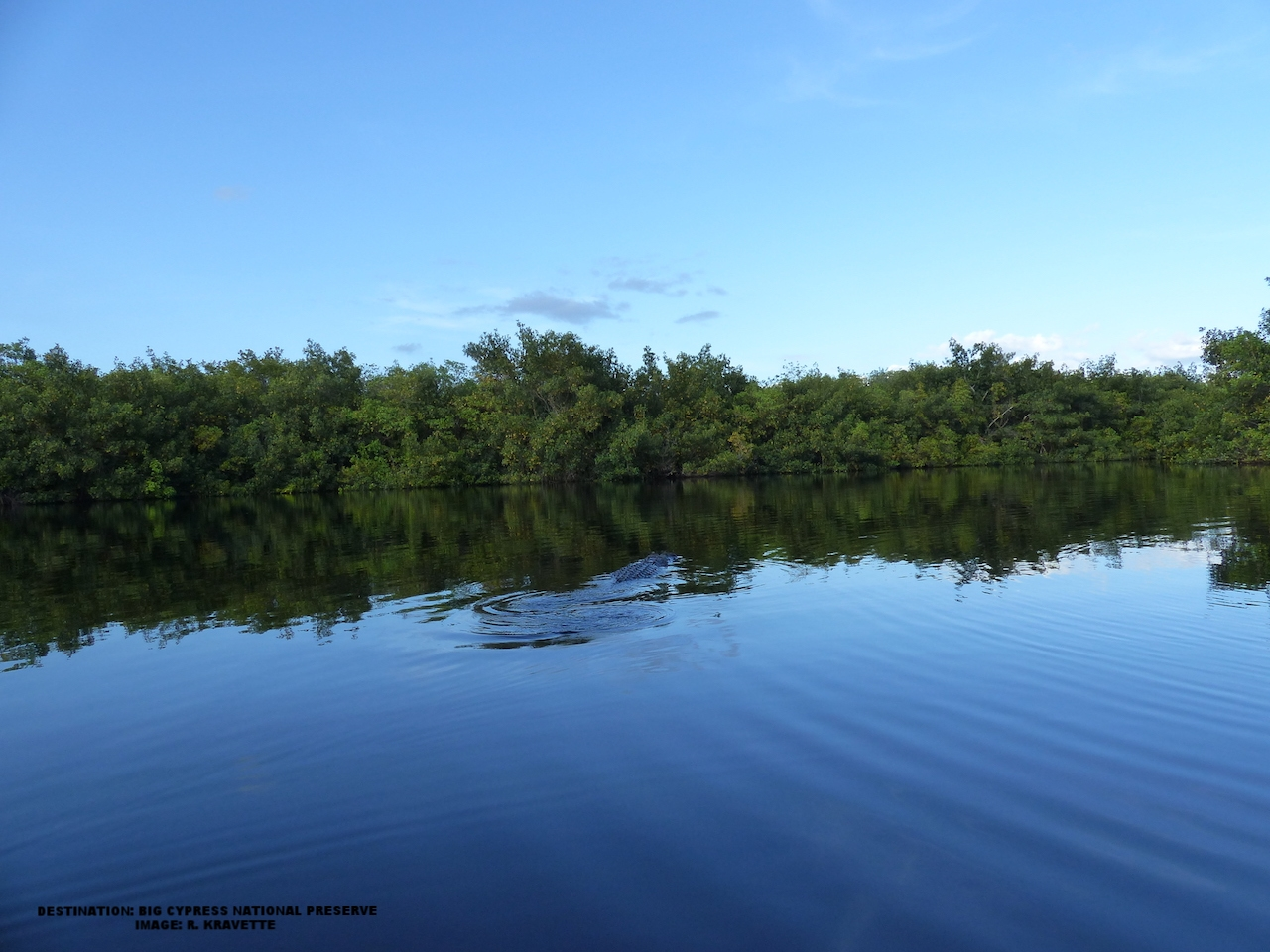 THE BIG 'GATOR SWAM OFF TO CHECK OUT THE REST OF HIS TERRITORY. THE WATER REGAINED ITS STILLNESS. IMAGE: R KRAVETTE