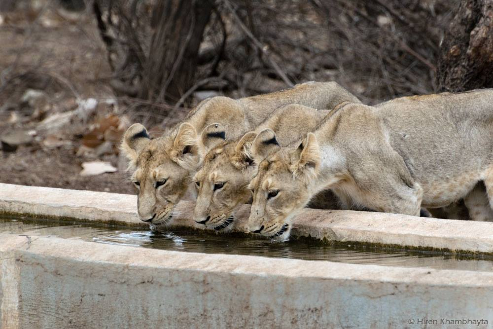 THREE OF THE LAST WILD ASIATIC LIONS IN THE WORLD DRINK DURING THE DRY SEASON AT A SPECIAL WATER TROUGH AT GIR NATIONAL PARK, INDIA IMAGE: HIREN KHAMBHAYTA