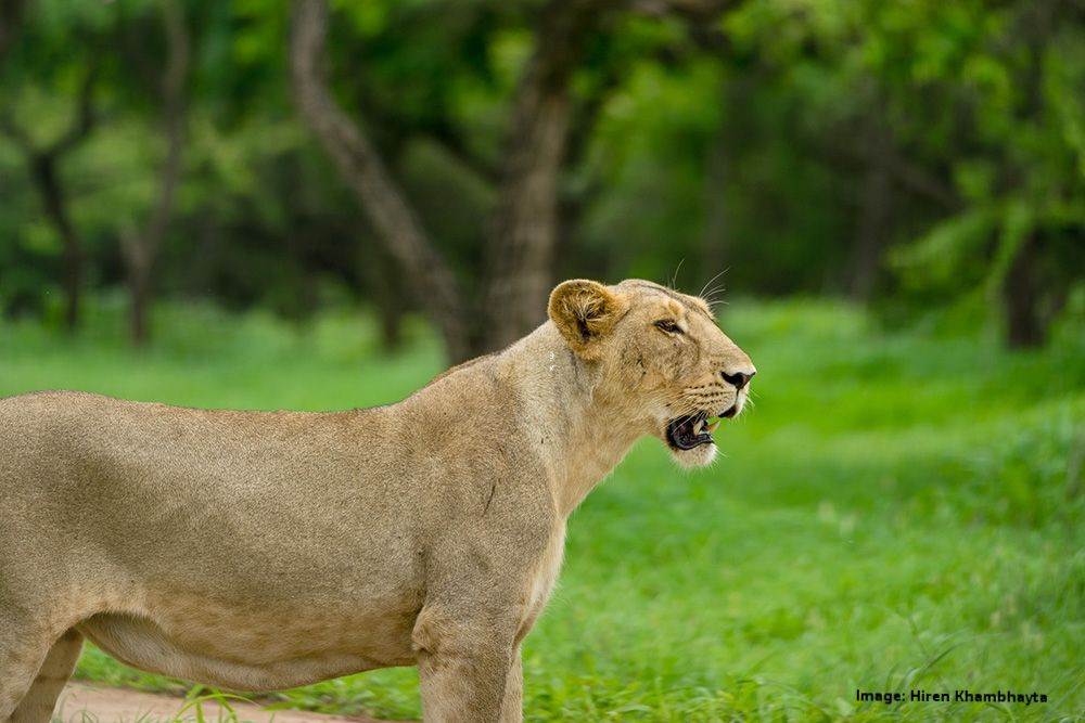 ONE OF THE PHYSICAL CHARACTERISTICS THAT DISTINGUISHED ASIATIC FROM AFRICAN LIONS IS THE FOLD OF SKIN THAT RUNS ALONG ITS BELLY, AFRICAN LIONS DO NOT HAVE THIS FOLD. IMAGE: HIREN KHAMBHAYTA