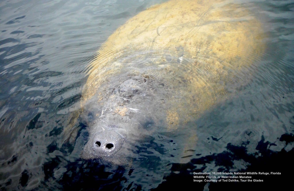 THE FLORIDA MANATEE IS A SLOW MOVING, CURIOUS, MARINE COUSIN OF THE ELEPHANT. FIND THEM IN ESTUARIES, SHALLOW RIVERS AND BAYS. IMAGE: TOD DAHLKE, TOUR THE GLADES.