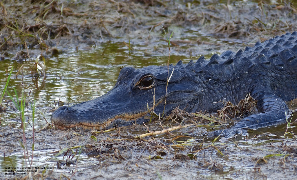 Florida_Alligator_Wildlife_Photography.jpg