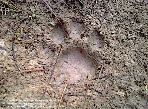 LOOKING FOR A FLORIDA PANTHER? IT IS PROBABLY IS ALREADY WATCHING YOU! LOOK FOR TRACKS. YOUR GUIDE WILL BE ABLE TO TELL YOU WHEN THE BIG CAT WENT BY. IMAGE: TOD DAHLKE, TOUR THE GLADES.