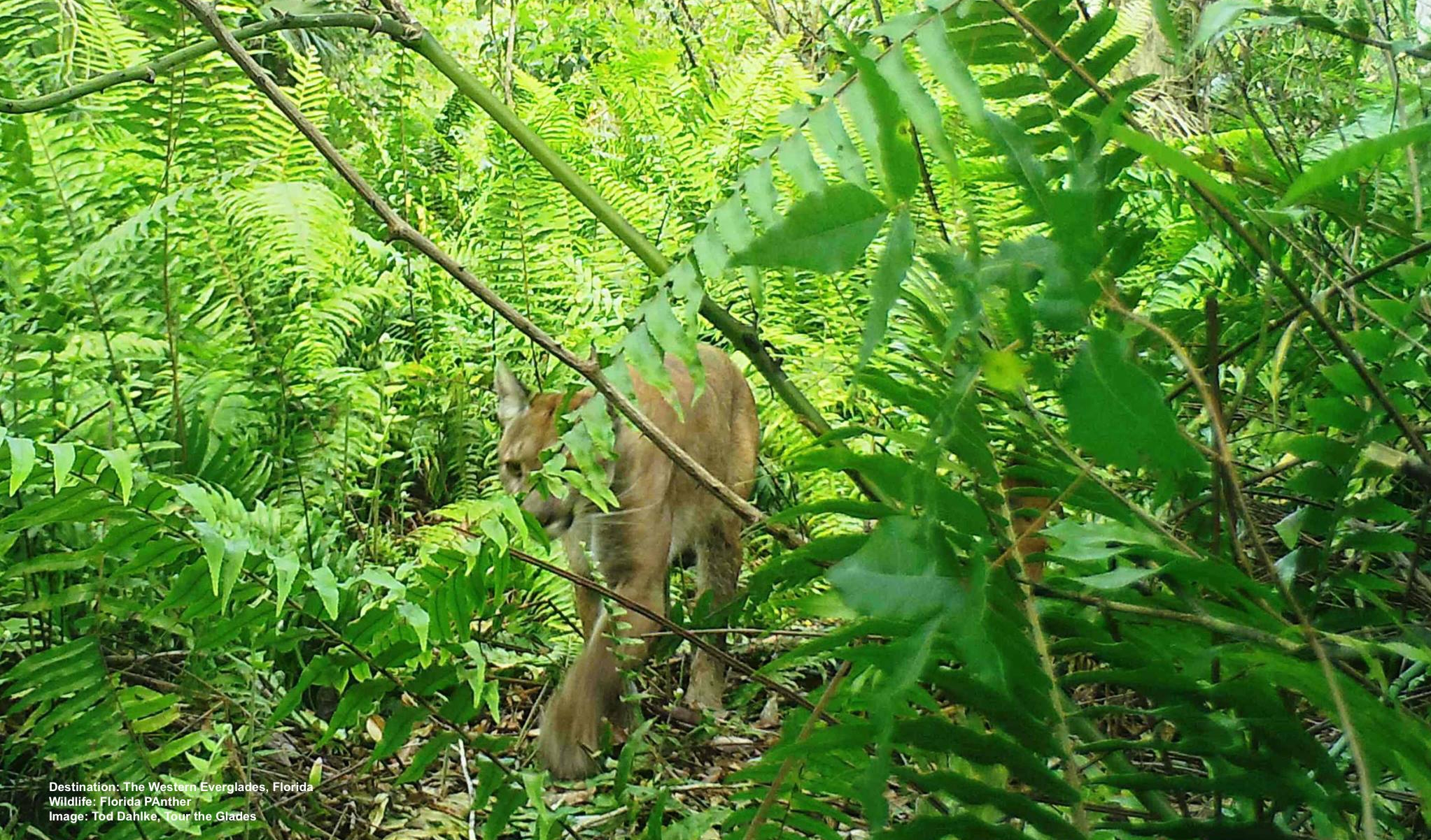A FLORIDA PANTHER MOVES SILENTLY THROUGH THE UNDERBRUSH. THEY HUNT DEER AND WILD HOG, THEIR MAIN FOOD, MOSTLY AT NIGHT. IMAGE: TOD DAHLKE OF TOUR THE GLADES.