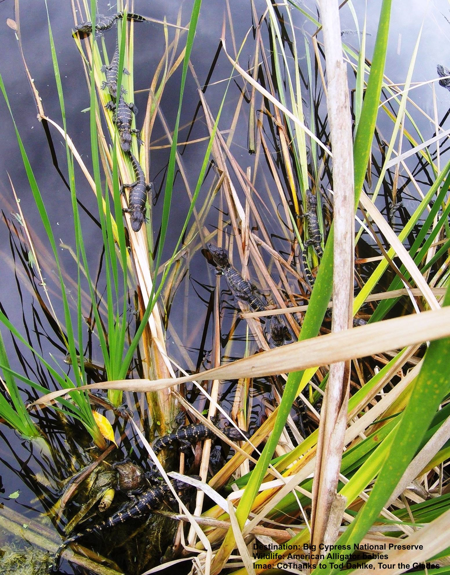 WATCH BABY ALLIGATORS FROM THE BOARDWALK AT BIG CYPRESS NATIONAL PRESERVE, FLORIDA. IMAGE: TOD DAHLKE, TOUR THE GLADES.