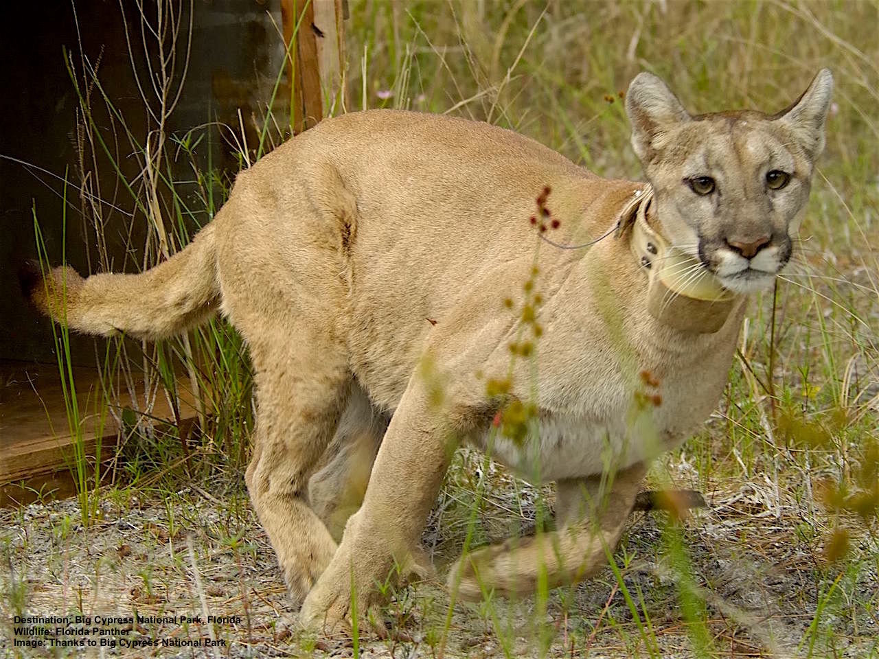 MANY OF THE REMAINING FLORIDA PANTHERS ARE TRACKED WITH RADIO COLLARS. HABITAT ENCROACHMENT HAS REDUCED THE THE FLORIDA PANTHER'S RANGE TO LESS THAN 5% OF ITS TRADITIONAL TERRITORY. THE ONLY ONE BREEDING POPULATION IN THE WORLD LIVES RIGHT HERE. IMAGE THANKS TO BIG CYPRESS NATIONAL PRESERVE.