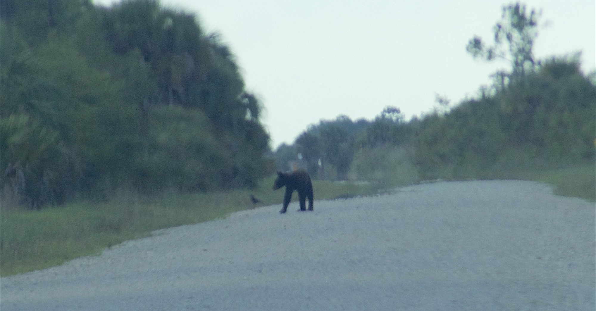 DUSK, ON A MISTY EVENING, WE DROVE BACK TO WHERE WE HAD SEEN BEAR SCAT IN THE MORNING. SURE ENOUGH, WE FOUND OUR BEAR! BIG CYPRESS NATIONAL WILDLIFE REFUGE. CAR SAFARI! IMAGE: ©ROBERTA KRAVETTE
