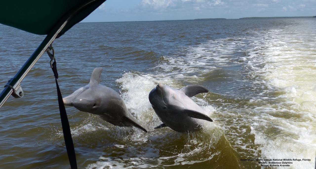THE BEST WAY TO EXPERIENCE THE JOY OF A WILD BOTTLENOSE DOLPHIN? ALLOW THEM TO FIND YOU! THESE TWO FOLLOWED OUR BOAT, PLAYING, JUMPING, CHASING OUR WAKE FOR MAYBE 20 MINUTES BEFORE THEY FINALLY MOVED ON TO ANOTHER ADVENTURE. FABULOUS! IMAGE: ROBERTA KRAVETTE