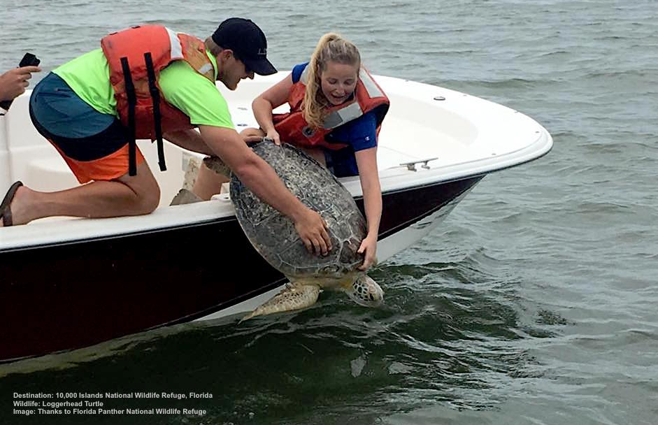 FLORIDA PANTHER NWR BIOLOGIST SCIENCE AIDS, LAUREN MILLER & BRIDGET GIBLIN ASSIST MOTE MARINE LABORATORY & AQUARIUM RELEASE A LOGGERHEAD TURTLE REHABILITATED AFTER SEVER BOAT STRIKES TO ITS CARAPACE. IMAGE: THANKS TO FLORIDA PANTHER NATIONAL WILDLIFE REFUGE.