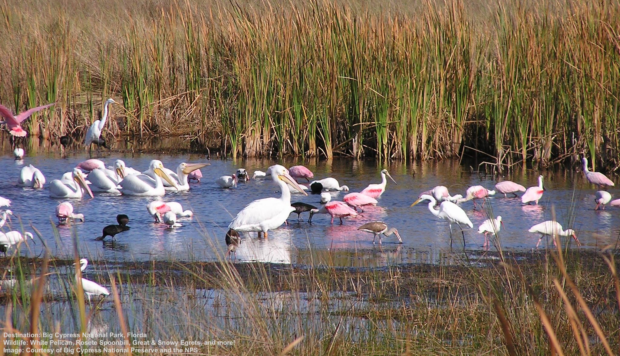 WHAT DO THESE BIRDS HAVE IN COMMON? MOST WERE HUNTED ALMOST TO EXTINCTION FOR FASHION IN THE 1800'S. TODAY, PROTECTED, THEY ARE COMING BACK. WHITE PELICAN, ROSEATE SPOONBILL, GREAT EGRET, SNOWY EGRET AND MORE IN BIG CYPRESS NATIONAL PRESERVE. IMAGE THANKS TO THE NATIONAL PARK SERVICE AND BCNP.