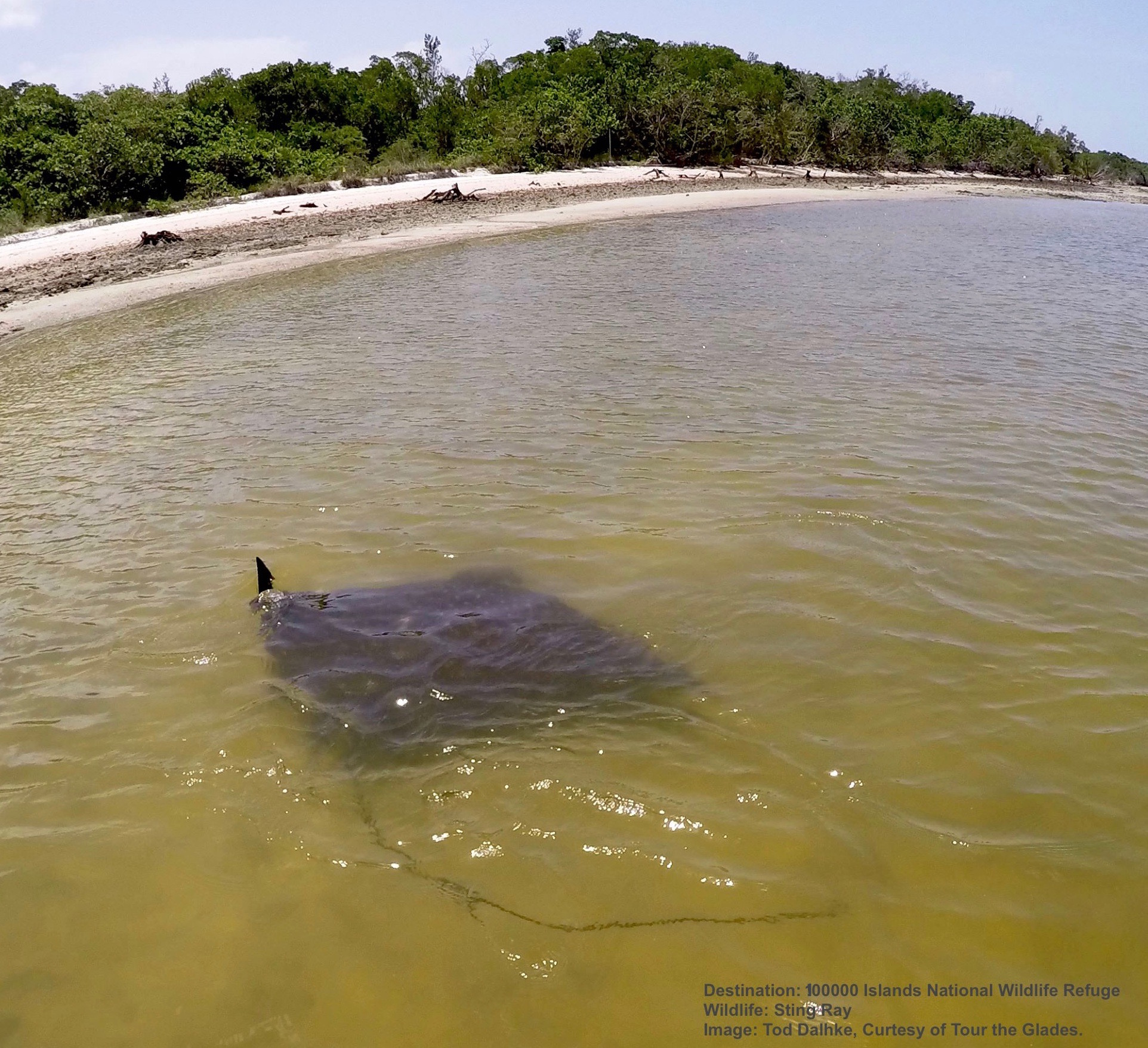 LOOK FOR DOLPHINS, BULL SHARKS, HORSESHOE CRABS, SEA TURTLES & RAYS AROUND 10,000 ISLANDS NATIONAL WILDLIFE PRESERVE . IMAGE: THANKS TO TOD DAHLKE & TOUR THE GLADES