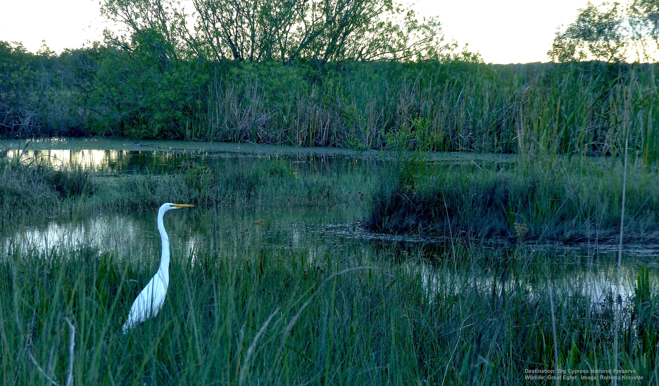 AT DUSK, A GREAT EGRET RISES LIKE A QUESTION MARK OUT OF THE MARSH GRASS. BY THE END OF THE 1800'S 95% OF ALL GREAT EGRETS WERE GONE, HUNTED TO THE BRINK OF EXTINCTION for their feathers. TODAY, THANKS TO CONSERVATION EFFORTS THEY ARE COMING BACK. IMAGE: ©ROBERTA KRAVETTE