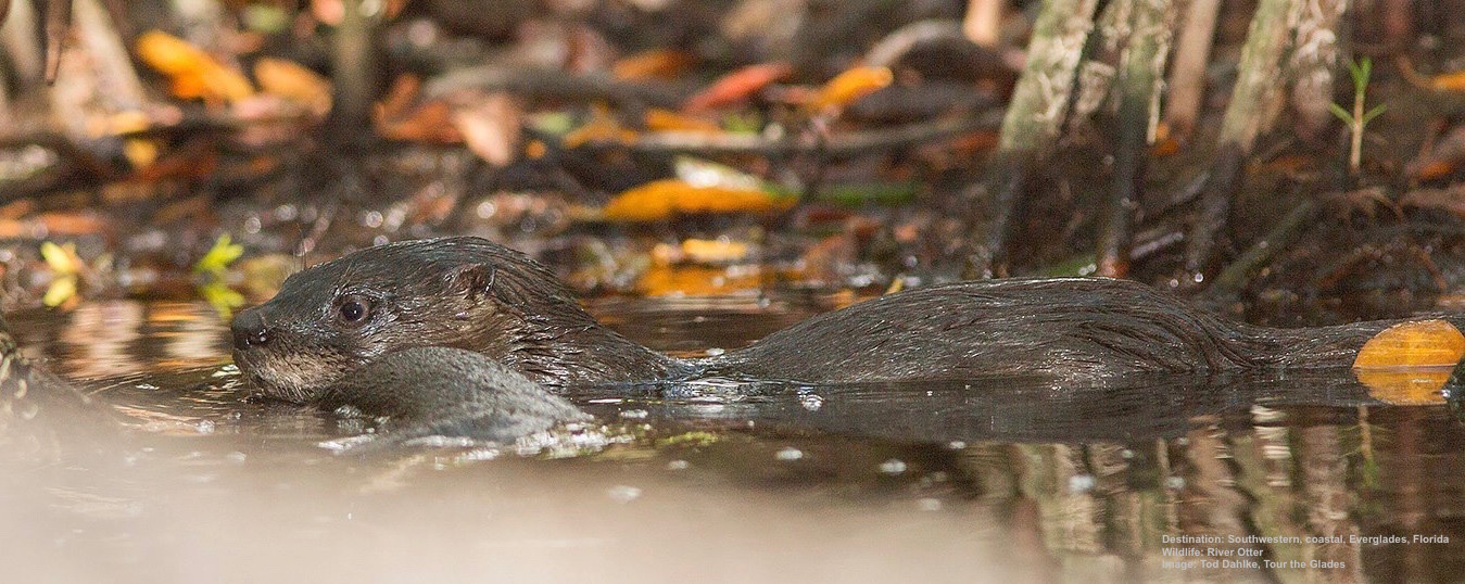 RIVER OTTERS LIVE UNDER THE ROOTS OF THE TREES ALONG THE EDGES OF FRESH WATER IN THE CYPRESS SWAMP. IMAGE: TOD DAHLKE, TOUR THE GLADES.