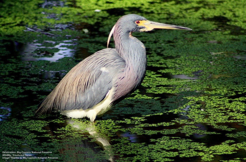"""YOU DON'T NEED TO BE A """"BIRDWATCHER"""" TO BE CAPTIVATED BY THIS TRICOLORED HERON IN BIG CYPRESS NATIONAL PARK. THEY ARE AMONG THE MANY BEAUTIFUL WADING BIRDS IN THE WILD PLACES AROUND EVERGLADES CITY. IMAGE: THANKS TO BIG CYPRESS NATIONAL Preserve."""