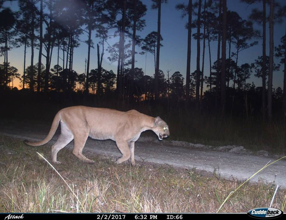 CAUGHT BY CAMERA TRAP IN FEBRUARY, ONE OF BETWEEN 100 - 230 ADULT FLORIDA PANTHERS LEFT IN THE WILD, ALL IN IRMA'S PATH. IMAGE COURTESY OF FLORIDA PANTHER NATIONAL WILDLIFE REFUGE.