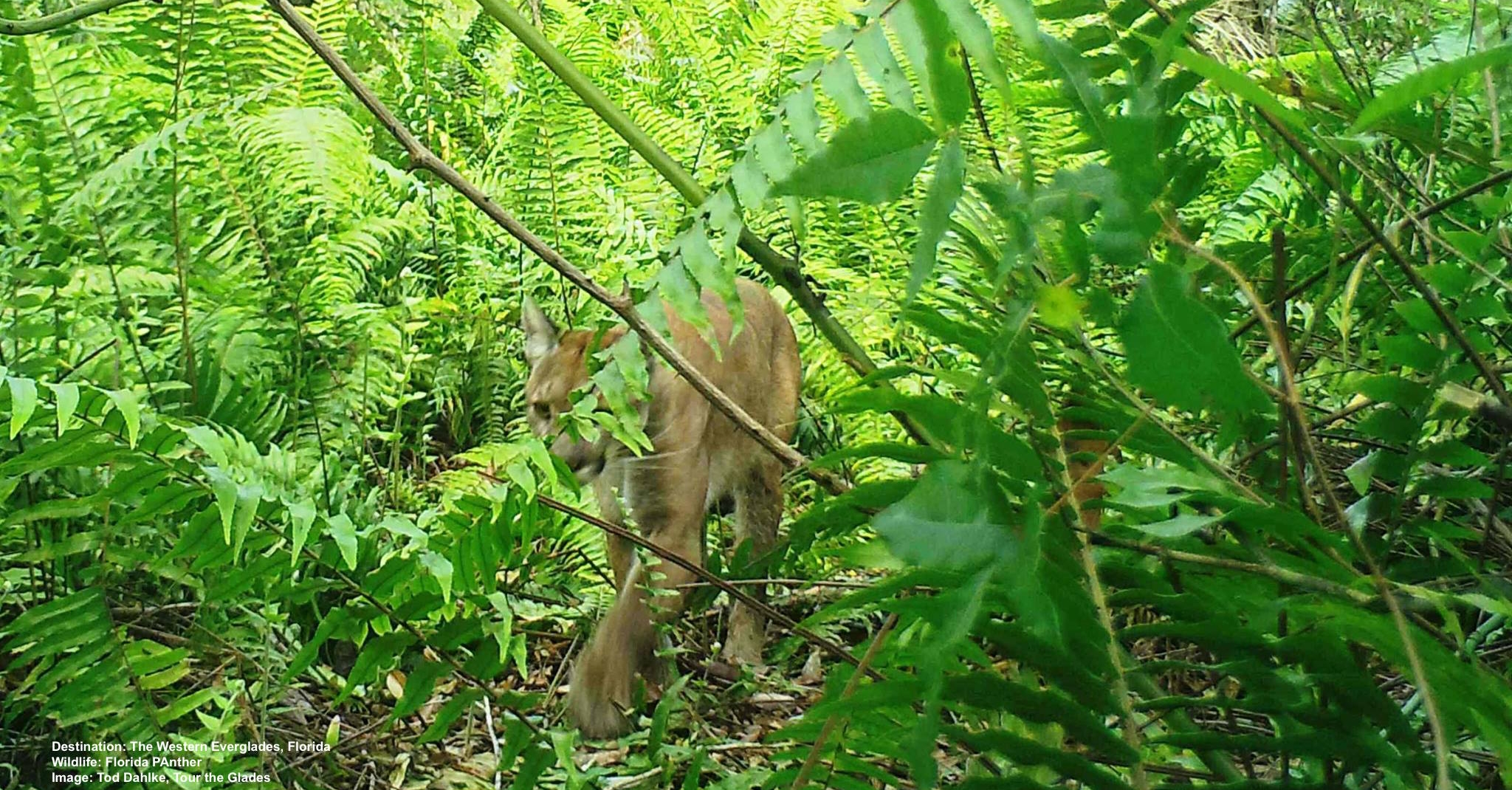 HUMANS CAN BOARD UP THEIR HOMES AND EVACUATE, BUT WHAT HAPPENS TO WILDLIFE? THE ONLY HABITAT LEFT FOR THE FLORIDA PANTHER AND OTHER ENDANGERED AND THREATENED SPECIES WERE RIGHT IN IRMA'S PATH. IMAGE COURTESY OF TOD DAHLKE, TOUR THE GLADES.