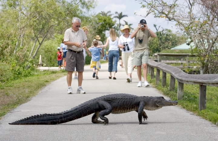 BEFORE THE STORM: AT BIG CYPRESS NATIONAL PRESERVE, THEY GIVE DINOSAURS THE RIGHT OF WAY. THE ECONOMICS OF NATURE TOURISM PROVIDES VITAL SUPPORT FOR THE HABITAT OF ALLIGATORS AND OTHER WILDLIFE. IMAGE: COURTESY OF BIG CYPRESS NATIONAL PRESERVE.